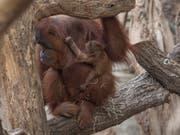 Noch namenlos: Das Orang-Utan-Junge im Frankfurter Zoo klammert sich im Fell seiner Mutter fest. Es ist zehn Tage alt. (Bild: KEYSTONE/dpa/BORIS ROESSLER)