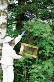 Max Meinherz beim Einfangen eines Bienenschwarms. (Bild: Mario Mannhart, Grabs)