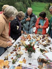 Zu den Exkursionen des Pilzvereins Toggenburg gehört auch das gemeinsame und fachkundige Bestimmen der «Fundstücke». Einige dieser Veranstaltungen stehen auch Nichtmitgliedern offen. (Bild: PD)