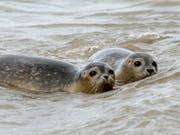 Zwei junge Seehunde am Strand der Insel Juist. (Bild: KEYSTONE/AP/FOCKE STRANGMANN)