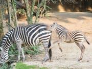 Zebrafohlen Pageri erkundet die Aussenanlage im Zoo Basel. (Bild: Keystone/Zoo Basel (Torben Weber))