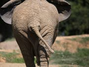 Im Zoo von Johannesburg lebt nur noch ein einzelner Elefant. (Bild: KEYSTONE/EPA/KIM LUDBROOK)