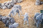 Lämmer auf dem Hof des Schafzüchters in Herrenhof. (Bild: Andrea Stalder, 16. Oktober 2018)