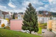 Der diesjährige St.Galler Weihnachtsbaum: Noch steht die Rottanne an der Rehetobelstrasse 71a. (Bild: Urs Bucher)