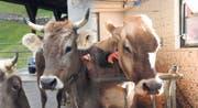 Sollen Hornkühe gefördert werden oder nicht? (Bilder: Florian Arnold/Urs Hanhart)