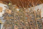 Wunderbare Laune der Natur: Die Farbigkeit der Prachtfinken vermag die Besuchenden des Vögeliparks zu begeistern. (Bild: Zita Meienhofer)