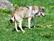 Symbolbild: Ein Wolf im Tierpark Goldau. (Bild: Romano Cuonz, Tierpark Goldau, 2017)