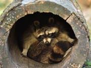 In der US-Kleinstadt Milton haben offenbar betrunkene Waschbären bei Bürgern Angst vor Tollwut heraufbeschworen. (Bild: KEYSTONE/AP/MARTIN MEISSNER)