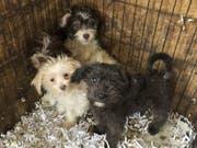 Einige der geretteten Hunde - sie müssen jetzt medizinisch versorgt und aufgepäppelt werden. (Bild: Keystone/AP/LINDSAY SANATOR)