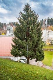 Der grosse Christbaum für den Klosterplatz steht derzeit noch an der Rehetobelstrasse 71a. (Bild: Urs Bucher - 13.11.2018)