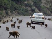 In Indien leben rund 50 Millionen Affen, der Verlust ihres natürlichen Lebensraums lässt sie immer weiter in die Städte vordringen. (Bild: Keystone/EPA/JAIPAL SINGH)