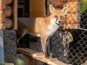 Erkundet seinen Lebensraum: Meister Reineke in der neuen Fuchsanlage des Natur- und Tierparks Goldau. (Bild: PD)