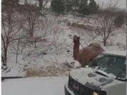 Ein Dromedar am Strassenrand im US-Staat Pennsylvania: Woher das Tier stammt, war zunächst unklar. (Bild: NBC10/Screenshot)