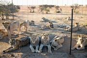 In Südafrika leben über 8000 Löwen und weitere Raubtiere in Gefangenschaft. Im Bild eine Farm in Kroonstad. (Bild: Per-Anders Pettersson/Getty)