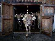 In den Sommermonaten sind viele Kühe auf der Alp. Dass sie Hörner tragen, ist nicht selbstverständlich. Wegen Verletzungsgefahr haben viele Bauern in den letzten Jahren ihre Kühe nach der Geburt enthornt. (Bild: KEYSTONE/GIAN EHRENZELLER)