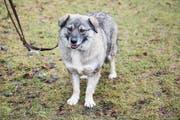 Die Hundesteuer sorgt bei manchem Halter für Ärger. (Bild: Mareycke Frehner)