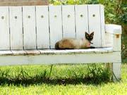 Das Bundesgericht hat sich zwei Mal mit dem Streit um eine Waadtländer Katze befassen müssen. (Bild: KEYSTONE/AP VALLEY MORNING STAR/GABE HERNANDEZ)