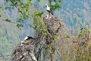 In der Kolonie im Saxerriet haben zwei Storchenpaare ihre Nester im gleichen Baum gebaut. (Bild: PD)