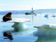 Ein Walross auf schmelzendem Eis in der Arktis - die US-amerikanische Ozean- und Klimabehörde NOAA schlägt angesichts der Erwärmung der Arktis Alarm. (Bild: Keystone/AP/GREENPEACE/BELTRA)