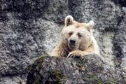 Die syrische Braunbärin Fränzi im Natur- und Tierpark Goldau feiert ihren 35. Geburtstag. Rund ein halbes Jahr später stirbt die älteste Braunbärin des Europäischen Erhaltungszuchtprogrammes. (Bild: Alexandra Wey/Keystone (Goldau, 17. Januar 2018))