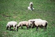 Herdenschutzhunde bewachen ihre Schafe, jagen dabei aber auch so manchem Touristen Angst ein. (Bild: Keystone/Jean-Christophe Bott)