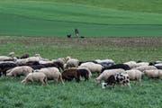 Die Schafe legen während der Winterfütterung am meisten Gewicht zu. (Bild: Bilder: Benjamin Manser)