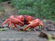 Jedes Jahr machen sich die Weihnachtsinsel-Krabben auf den Weg Richtung Strand. (Bild: John Tann, Wikimedia Commons, CC BY 2.0)