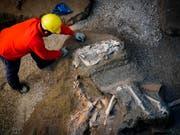 In der Nähe der antiken Stadt Pompeji haben Archäologen die Überreste eines Pferdes ausgegraben. Es ist bereits das dritte Pferd, das auf einem damaligen Landgut entdeckt wurde. (Bild: KEYSTONE/AP ANSA/CESARE ABBATE)