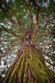 Zu den grössten Bäumen auf Stadtgebiet zählen Mammutbäume wie dieser. (Bild: Urs Bucher)