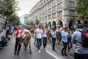 Mit Kühen mitten durch die Zürcher Innenstadt: Das Modelabel Stockberg will Tradition und Moderne zusammenbringen. (Bild: Christian Regg)