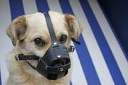 Bis eine andere Massnahme verfügt ist, muss der Hund einen Maulkorb tragen. (Symbolbild: Alamy)