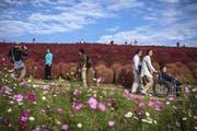 Rote Zypressen in Japan. (Bild: Getty)