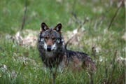 Ein Wolf ist in der Region Muolen unterwegs. (Bild: Keystone)