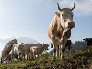 Wenn den Kühen die Hörner entfernt werden, so kann das gemäss einer Studie chronische Schmerzen sowie Überempfindlichkeit auslösen. (Bild: KEYSTONE/ARNO BALZARINI)