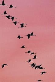 Chronobiologie: Programmierter Abflug der Zugvögel. (Bild: Keystone)