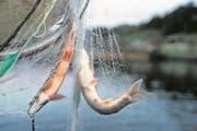 """""""Zuger Roetel"""", Seesaibling """"Salvelinus alpinus"""", in einem Fischernetz auf dem Aegerisee am Mittwoch, 22. November 2017. Von Ende Oktober bis Mitte Dezember werden gegen 10'000 """"Zuger Roetel"""" aus dem Aegerisee gefischt. (KEYSTONE/Alexandra Wey) (Bild: ALEXANDRA WEY (KEYSTONE))"""