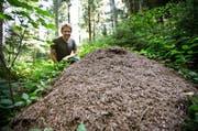 Revierförster Martin Filli ist fasziniert von den Ameisen im Äschwald. (Bild: Manuela Jans / Neue LZ)