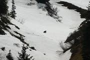 Der Bär im Hoch-Ybrig macht sich im Mai 2016 aus dem Staub. (Bild: André Marty)