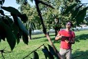 Thomas Wiederkehr bei einem Augenschein eines Hochstamm-Kirschbaums auf dem Rüschenhof in Zug.Bild: Maria Schmid (13. September 2016)