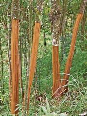 Zimt wird aus der Rinde des Zimtbaums hergestellt. (Bild: Getty)