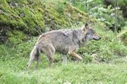 Kann der Wolf in Uri neben dem Menschen existieren? (Bild: Romano Cuonz)