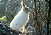 Ein Schneehase im Tier- und Naturpark Goldau. (Bild pd)