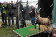 Ein Walliser Bock bei der Freilassung im April 2011 auf der Fräkmüntegg. (Bild: Boris Bürgisser / Neue LZ (Archiv))