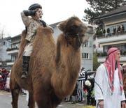 Ein echtes Kamel am diesjährigen Ebikoner Fasnachtsumzug. (Bild: Sara Häusermann/luzernerzeitung.ch)