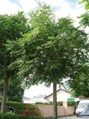 So sieht der Götterbaum aus. (Bild: PD)