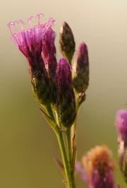 Auch die Färberscharte ist Nutzniesserin der ökologischen Aufwertung in Perlen. (Bild: pd/Niklaus Troxler)