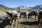 Wildschweine auf der Alp Selez. (Bild: Urs Flüeler/Keystone (Bürglen, 29. August 2017))