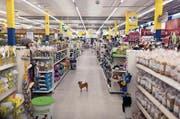 Haustiere – und die nötigen Accessoires – sind ein grosses Geschäft. Im BIld: ein Hund in einem Haustierfachmarkt. (Bild: Gaetan Bally/Keystone (Dietlikon, 30. November 2010))