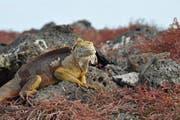 Landleguan (links) und Lava-Echse (rechts) auf Galápagos. (Bild: pd/Hans-Peter Reinthaler)