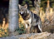 Die DNA-Analyse bestätigt, dass die Schafe von einem Wolf italienischer Abstammung gerissen worden sind. (Symbolbild Romano Cuonz / Neue OZ)